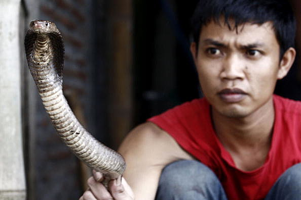 Cobras Harvested For Indonesian Burger Trade