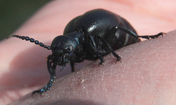 The National Trust Conduct Their Oil Beetle Survey