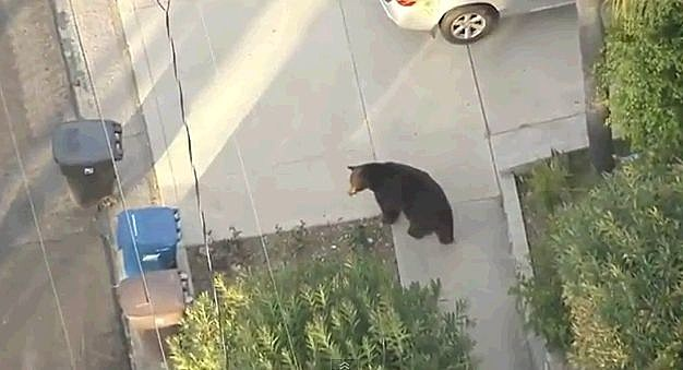 Bear In The Streeet