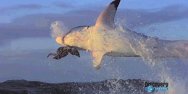 Flying Shark