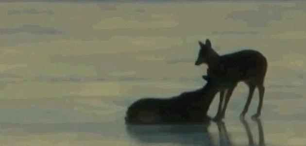 Deer Caught On Ice