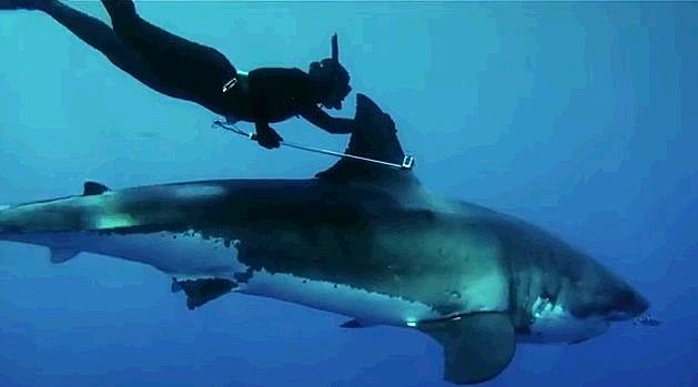 w rides on the back of a great white shark video